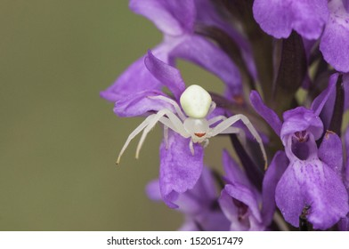 Misumena Watt Golden-rod Crab Spider of small size waiting for a prey on a dark pink wild orchid flower Dactylorrhiza light by flash