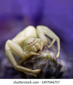 Misumenoides formosipes crab spider waiting for prey of a purple Salvia flower