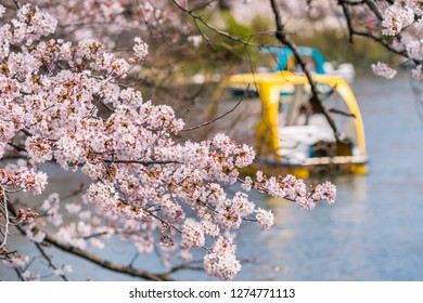 """MITAKA, TOKYO / JAPAN - APRIL 6 2017 : Scenery of """"Inokashira Park"""" where cherry blossoms bloom. Many people are enjoying the cherry blossoms aboard the boat."""