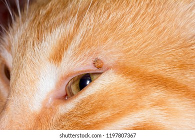 mite bloodsucker stuck in the eyelid of a red cat