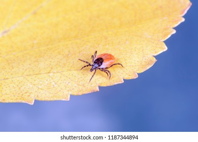 The mite crawls along the yellow leaf. It is the ticks female, it is a bloodsucker, a vector of diseases.