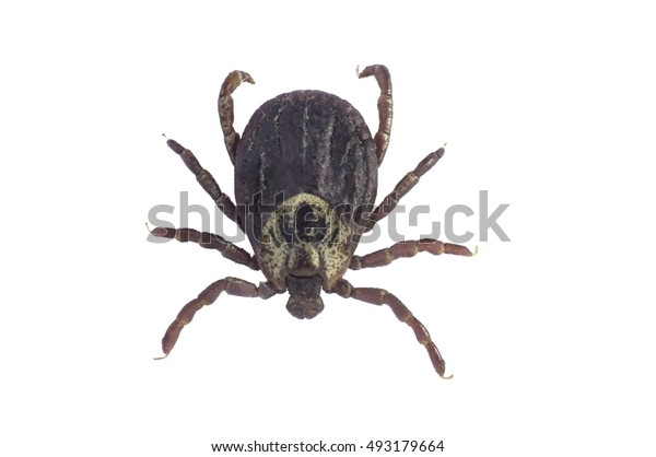 Mite isolated on white background with clipping path