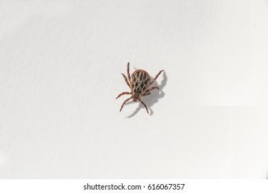 Mite on white background