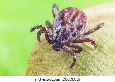 The mite sits on a dry leaf, dangerous parasite and a carrier of infections.