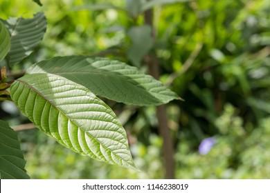 Mitragyna or Kratom leaves