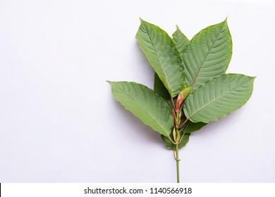 Mitragyna or Kratom leaves on white background