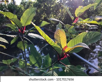 Mitragyna speciosa, commonly known as kratom (Thailand) or ketum in Malaysia, is a tropical medicine herbal in Asia.