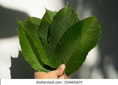 Mitragyna speciosa (commonly known as kratom) or Ketum is used as traditional medicine