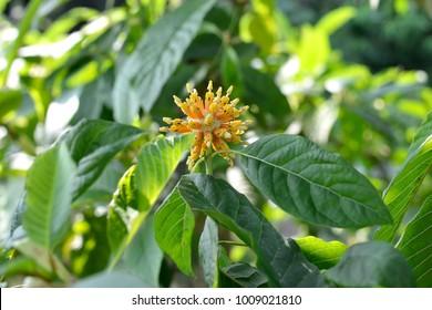 Mitragyna speciosa flowers (kratom flower)