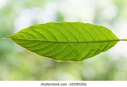 mitragyna speciosa korth a drug from plant.