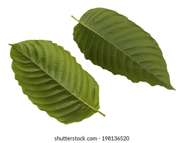 Mitragyna speciosa Korth isolated on white background with clipping path