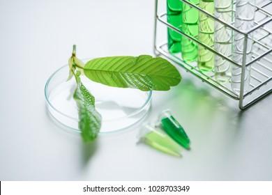 Mitragyna speciosa korth (kratom) drug plant in the laboratory research