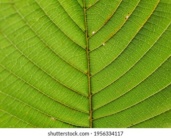 Mitragyna speciosa Korth, Kratom is drug from plant.  It is a medicinal plant and is addictive.