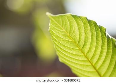 mitragyna speciosa korth (kratom) a drug from plant in thailand
