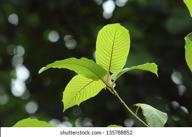 Mitragyna speciosa Korth. Located in the family Rubiaceae. It is a medicinal plant and is addictive.