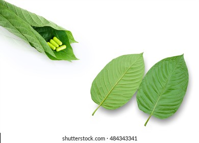 Mitragyna speciosa Korth. Located in the family Rubiaceae.  The leaves eaten as a drug It is a medicinal plant and is addictive. Isolated this has clipping path.