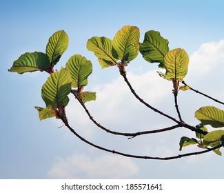 Mitragyna speciosa Korth.It is a medicinal plant and  addictive.
