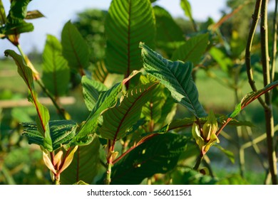 Mitragyna speciosa Korth plant