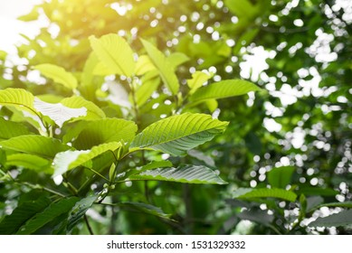 Mitragyna speciosa (Kratom leaves) Close up picture, Plant in thailand, Kratom herbal at thailand