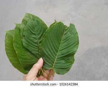 A Mitragyna speciosa (kratom) Leaves of Mitragyna speciosa, Drugs and Narcotics in Thailand.