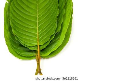 Mitragyna speciosa (kratom) plant in thailand