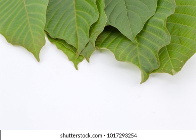 Mitragyna speciosa leaf (kratom) plant in thailand or ketum in Malaysia. Close up and isolated on white background