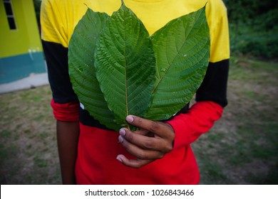 Mitragyna speciosa leaf (kratom) plant in thailand or ketum in Malaysia. Close up and isolated on black background
