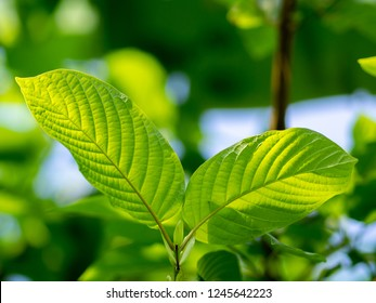 Mitragyna speciosa leaf (kratom), plant in thailand, Kratom is Thai herbal which encourage health. Close up