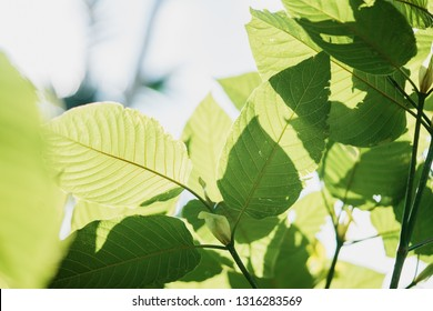 Mitragyna speciosa leaf (kratom), plant in thailand, Kratom is Thai herbal which encourage health.Copy space