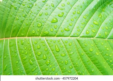 Mitragyna Speciosa Leave Texture