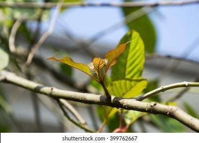 Mitragyna speciosa,mitragyna speciosa korth (kratom) a drug from plant to a category 5 in thailand