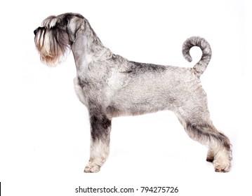 Mittel-schnauzer dog sits on a white background