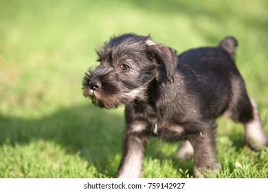 Mittelschnauzer puppy. Mittel Schnauzer pup playing on green grass