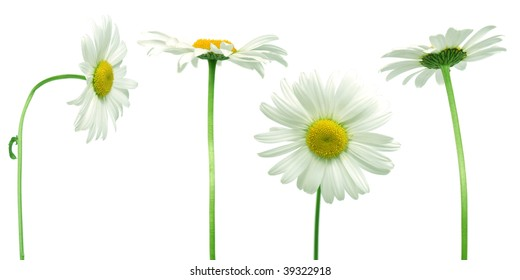 mix of 4 daisies over clear white background