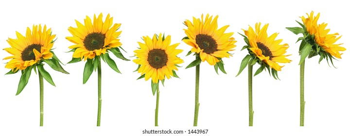 mix of 6 sunflowers - isolated on clear white background