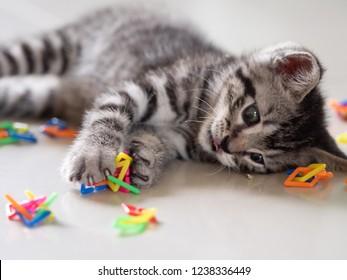 mix american short hair and scottish fold kitten playing.