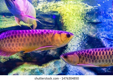 Mix Arowana fish view in an aquarium