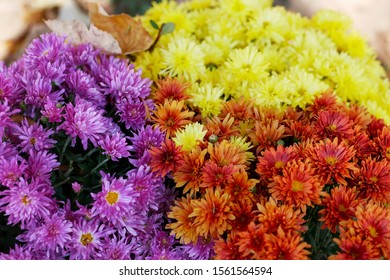 Mix of autumn flowering chrysanthemums. Colors with and without focus. Wallpaper. Background.