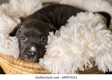 Mix breed dark grey puppy canine dog lying down on soft white blanket in basket looking happy, pampered, hopeful, sweet, friendly, cute, adorable, spoiled while making eye contact