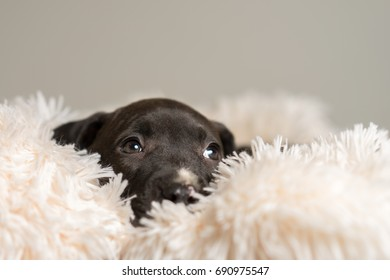 Mix breed dark grey puppy canine dog lying down on soft white blanket looking happy, pampered, hopeful, dreamy, sweet, friendly, cute, adorable, spoiled while looking up