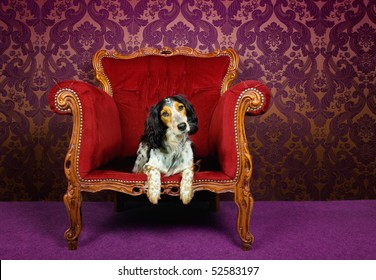 Mix breed dog in a red couch against purple wallpaper