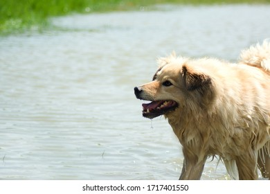 mix breed dog with wet fur in the lake