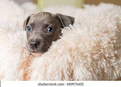 Mix breed grey with blue eyes puppy canine dog lying down on soft white blanket looking happy, pampered, hopeful, sweet, friendly, cute, adorable, spoiled while making eye contact