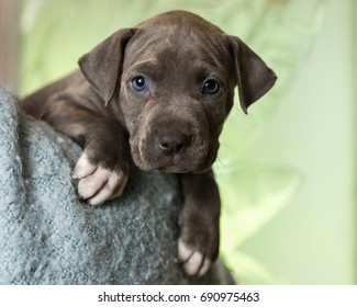 Mix breed grey with blue eyes puppy canine dog lying down on soft blue blanket looking happy, pampered, hopeful, sweet, friendly, cute, adorable, spoiled while making eye contact