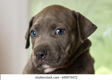 Mix breed grey with blue eyes puppy canine dog being held up looking happy, pampered, hopeful, sweet, friendly, cute, adorable, spoiled, calm, relaxed while making eye contact