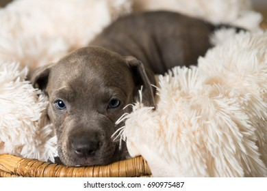 Mix breed grey with blue eyes puppy canine dog lying down on soft white blanket in basket looking happy pampered hopeful sweet friendly cute adorable spoiled calm relaxed while making eye contact