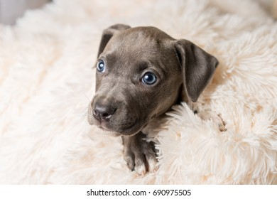 Mix breed grey with blue eyes puppy canine dog lying down on soft white blanket looking happy, pampered, hopeful, sweet, friendly, cute, adorable, spoiled,