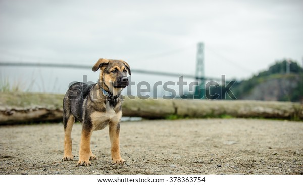 Mix breed puppy standing at beach in front of Lions Gate Bridge in Vancouver Canada