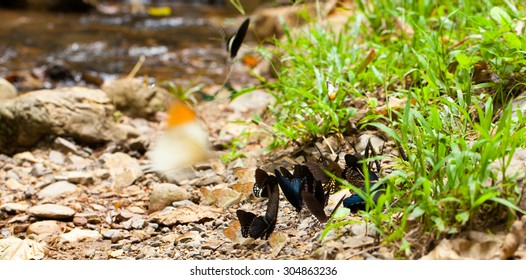 mix butterfly, mix butterfly sniffing on the dirt floor by the river in the tropical forest, Thailand