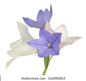 Bell flower images stock photos vectors shutterstock mix color platycodon bell flower isolate on white mightylinksfo